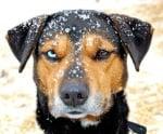 Различни очи при куче