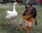 Рекс си играе с Джералдин