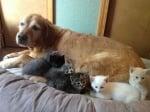 Ретривър с малки котенца