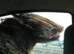 Рошаво куче в кола