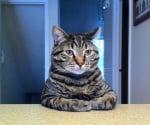 Седяща на масата котка със скръстени ръце