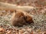 Семейство намери малки лисичета в двора си