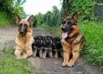 Семейство немски овчарки с малки кученца