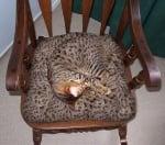 Шарена котка на шарен стол