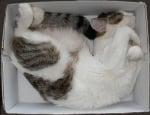 Шарена котка в кутия