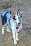Шарено куче с шарени очи