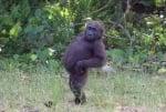 Шимпанзе с ръцете на кръста