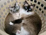 Сиамски котки в кош