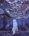 Сибирски вълк на пътешествие