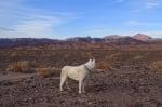 Сибирски вълк сред дивата природа