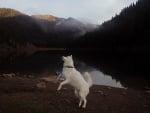 Сибирски вълк сред природата