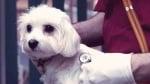 Симптоми при Ендокардит при кучето