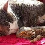 Сива котка с игуана