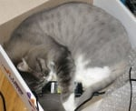 Сива котка спи в кутия