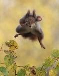 Скачаща катерица