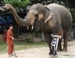 Слон с изкуствен крак