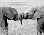 Слончета се прегръщат с хоботи