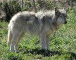 Кръстоска между куче и вълк