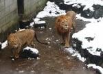Снежни топки по лъвовете