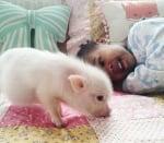 Снимки на Либи с прасенце
