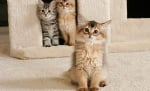 Котка сомали