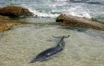 Спасен бедстващ делфин в Равда
