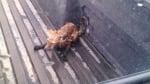 Спасена лисица