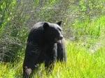 Спасената мечка на свобода