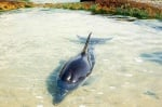 Спасено делфинче на плаж в Равда