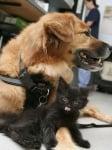 Спасено куче става бавачка на котета