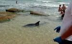 Спасяване на делфинче в Равда