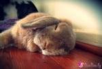Спящо зайче