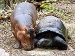 Стара костенурка и бебе хипопотам приятели