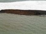 Струпани тюлени на брега на Арктика