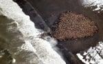 Струпване на моржове по бреговете на Арктика