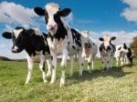 Суеверия с крави