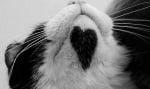 Сърце на котка