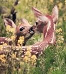 Сърнички се целуват