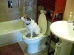 Териер ходи до тоалетната