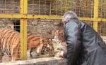 Тигрите в Зоопарка