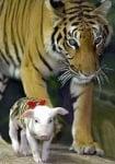 Тигрица в зоопарк с малко прасенце