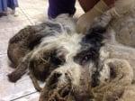 """Трансформацията на едно """"космато чудовище"""" в миловидно кученце"""