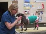 Трансплантираха свинска кожа на куче