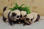 Три кученца с окраска като на панда