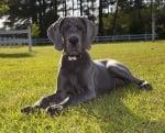 Задължително ли е големите породи кучета да приемат калций?