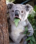 Учудена коала