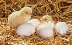 Удивително зрелище - реалното развитие на пиле в яйце