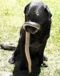 Ухапване от змия при кучето - Първа помощ