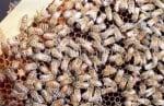 Продължава масовото измиране на пчели в страната