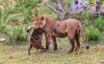 Уникално! Лъвица осинови павианче, след като убива майка му